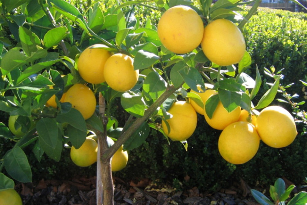 limon-ordubad