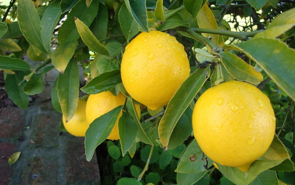 limon-ordubad02